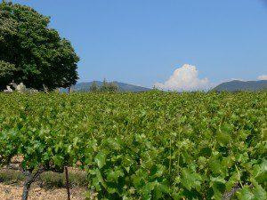 Healthy vines!