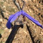 Purple Lycra knot on vine